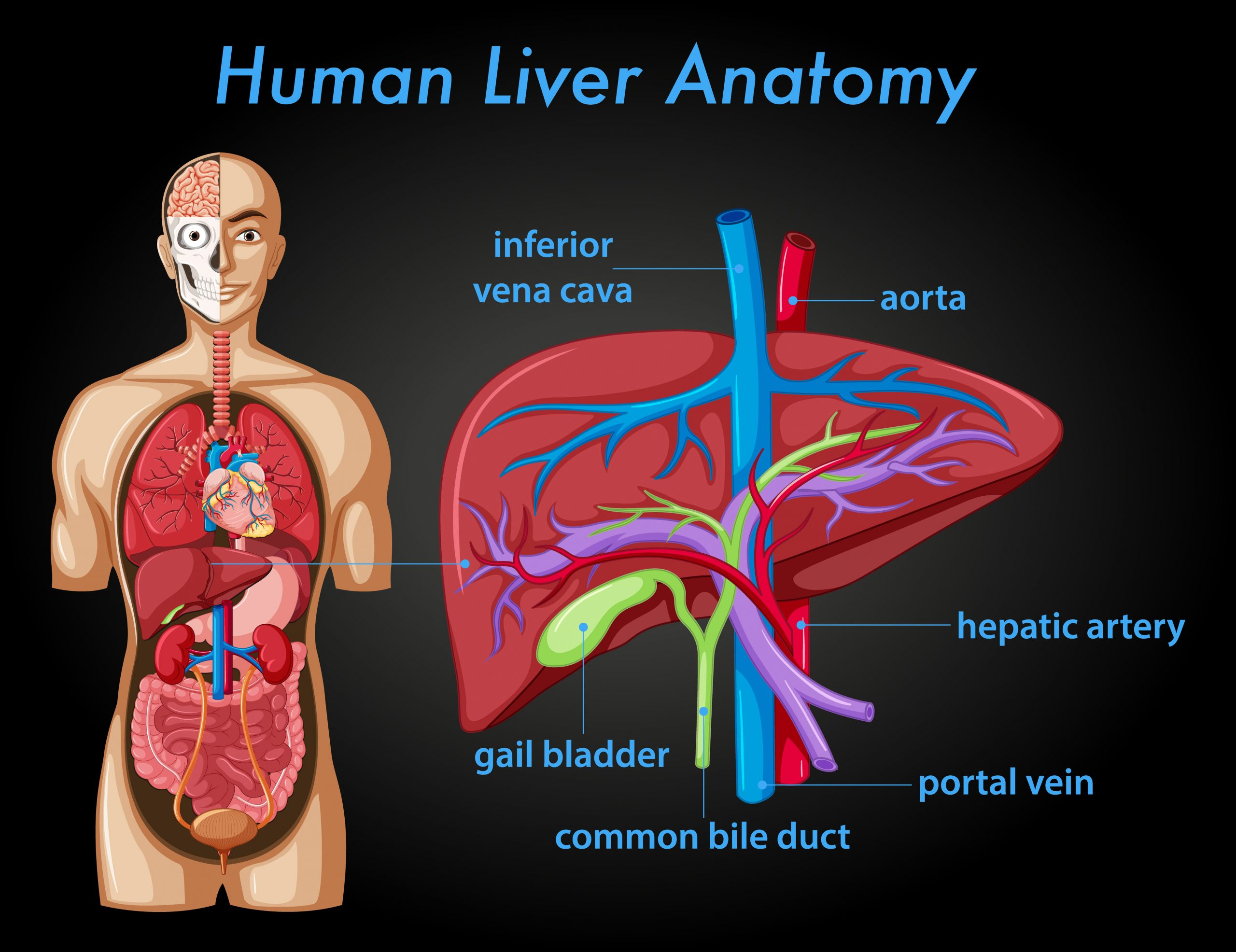 Liver & Its Functions